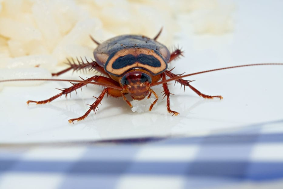Photo of a American Cockroach