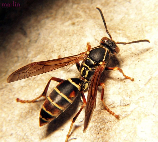 Photo of a Paper Wasp