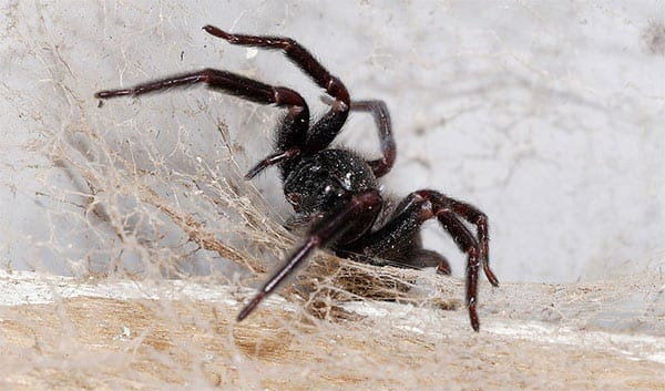 Photo of a Black House Spider