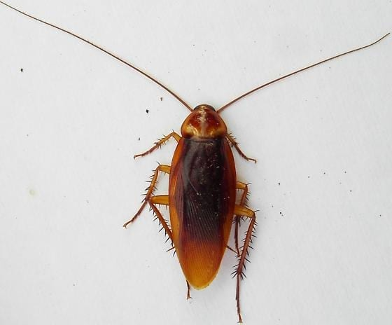 Photo of a German Cockroach