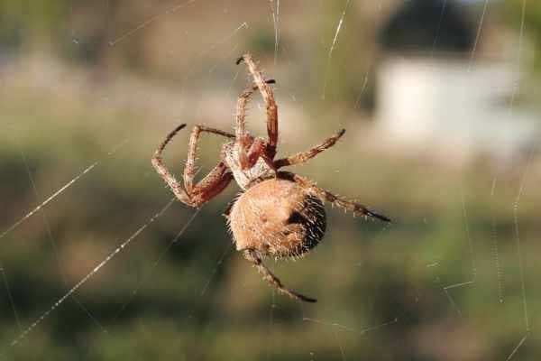 Photo of a Garden Orb Weaving Spider