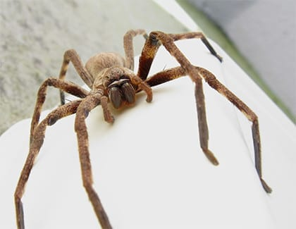 Photo of a Huntsman