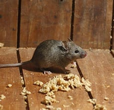 Photo of a House Mouse