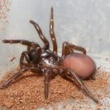 Northern Rivers Funnel-Web