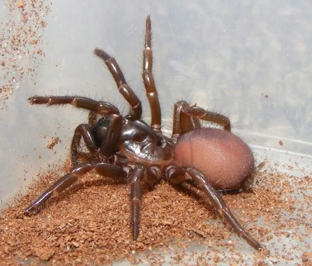 Photo of a Northern Rivers Funnel-Web