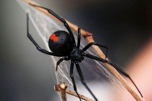 Photo of a Redback Spider
