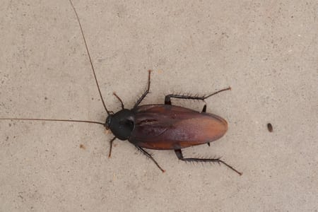 Photo of a Smoky Brown Cockroach