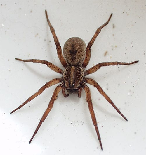 Photo of a Wolf Spider