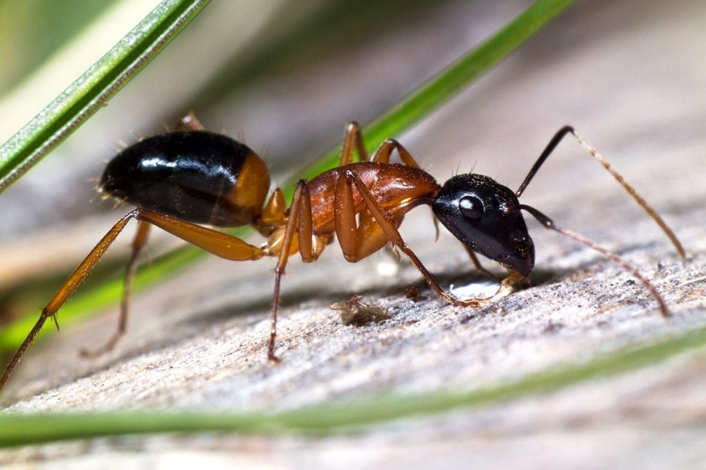 Photo of a Banded Sugar Ant