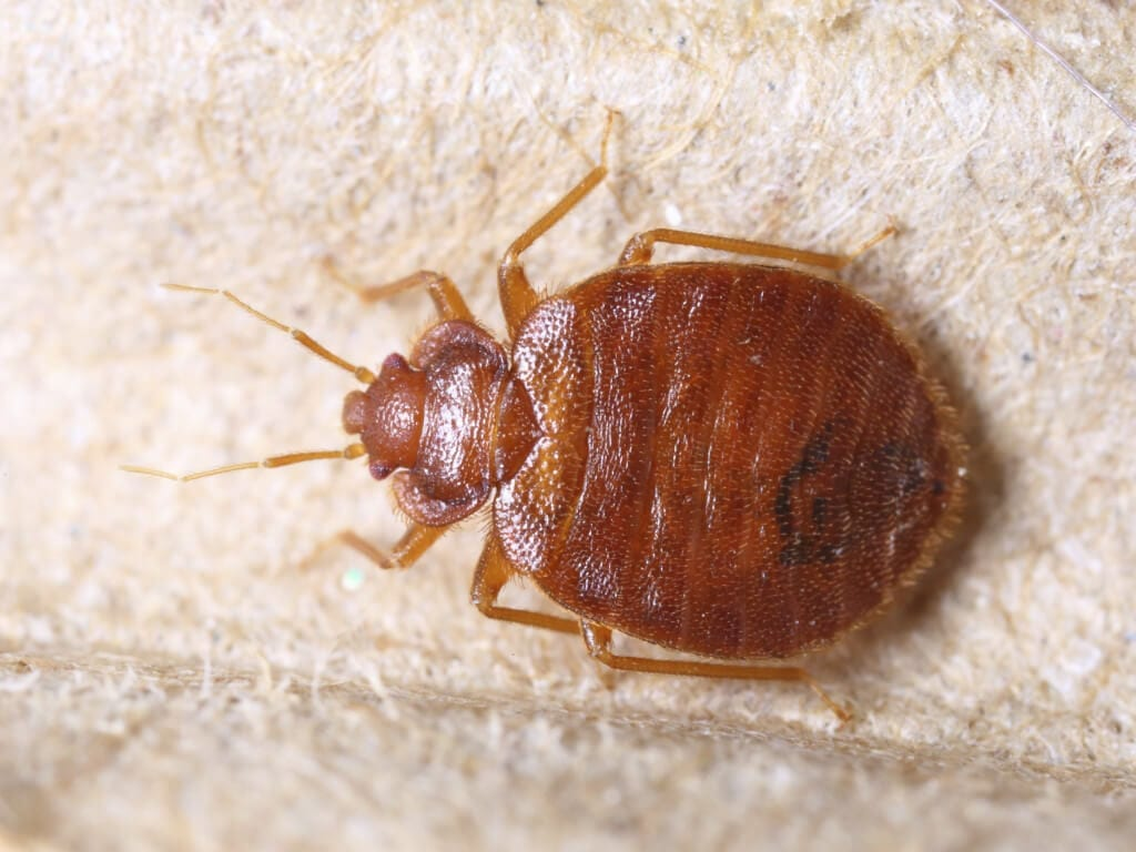 Photo of a Bed Bugs