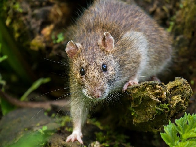Photo of a Brown Rat