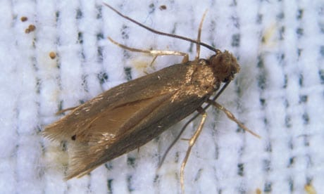 Photo of a Clothes Moths