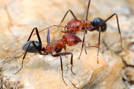 Photo of a Meat Ant