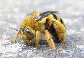 Photo of a Mortar Bee
