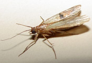 Photo of a Pantry Moths