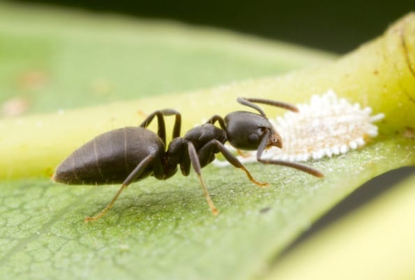 Photo of a White-Footed House Ant