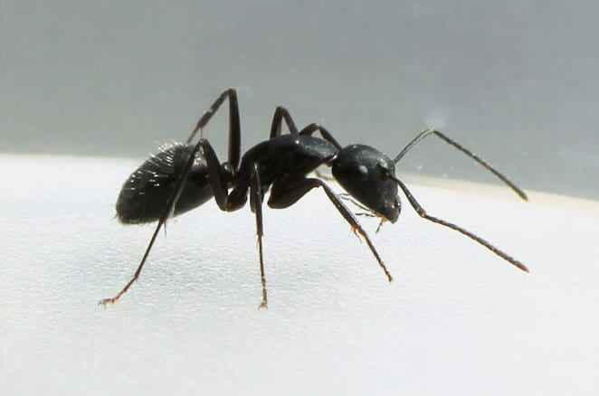 Photo of a Black House Ant