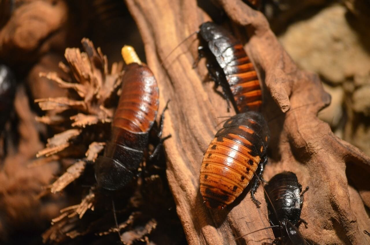 6 Types of Cockroaches We Encounter Everyday