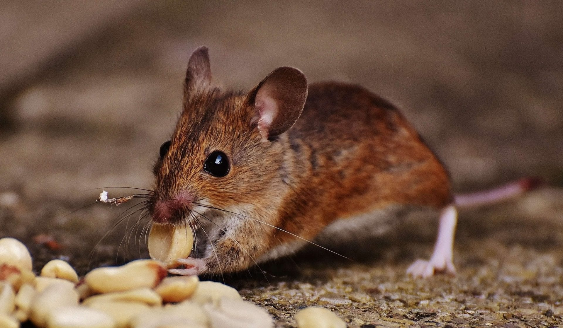Everything You Need to Know About Rodent Diseases