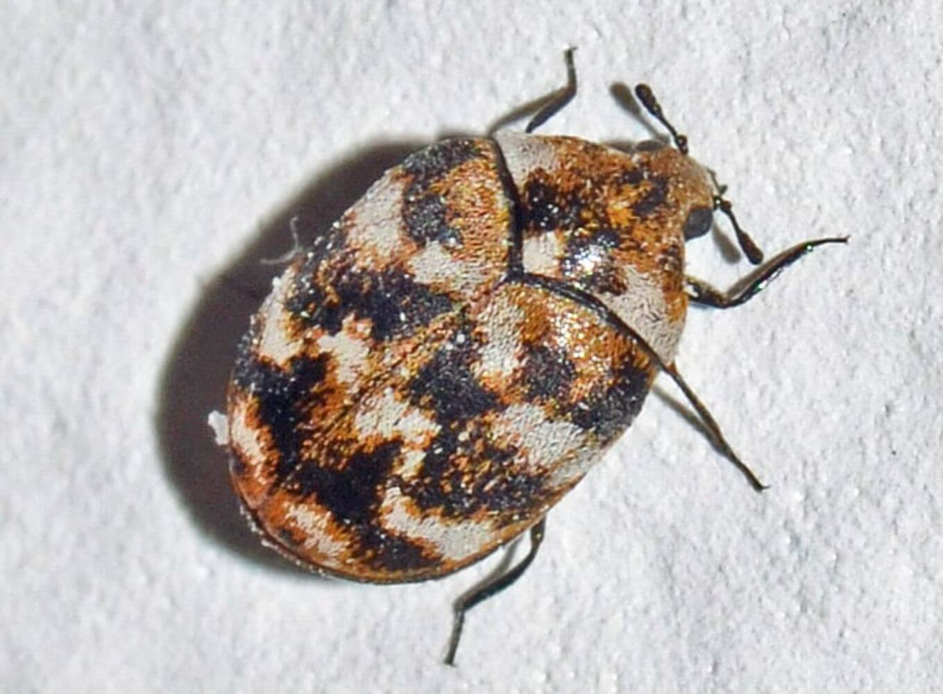 How to Get Rid of Carpet Beetles and Everything Else You Need to Know