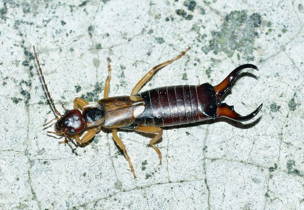 How to Get Rid of Earwigs and Everything Else You Need to Know