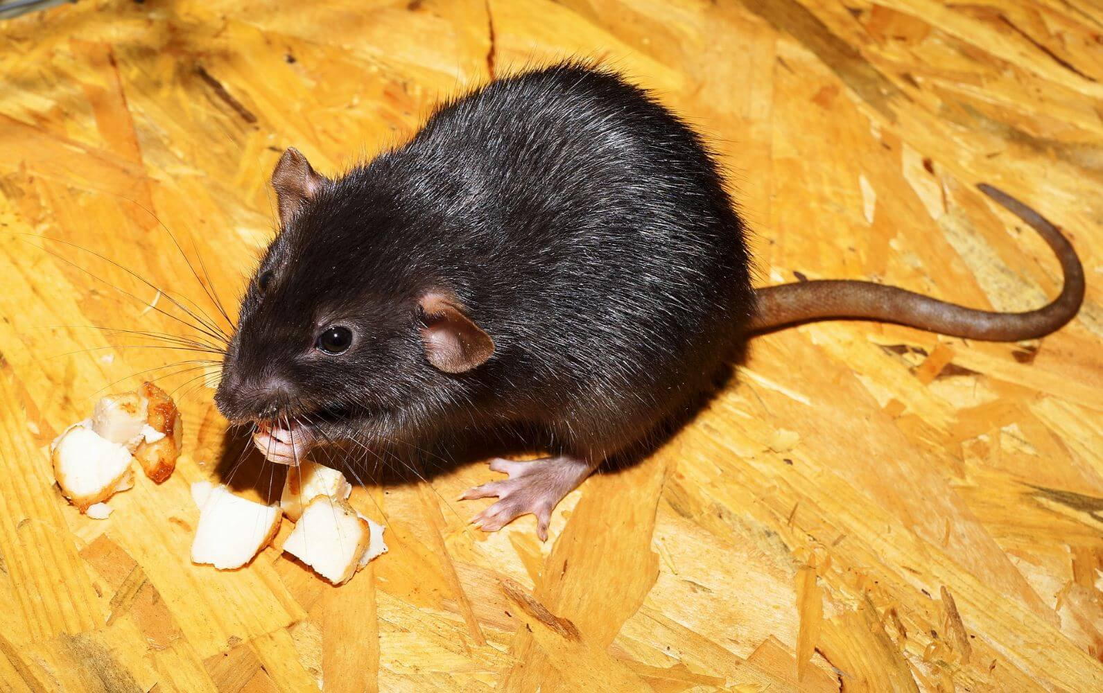How to Prevent a Mice and Rat Infestation