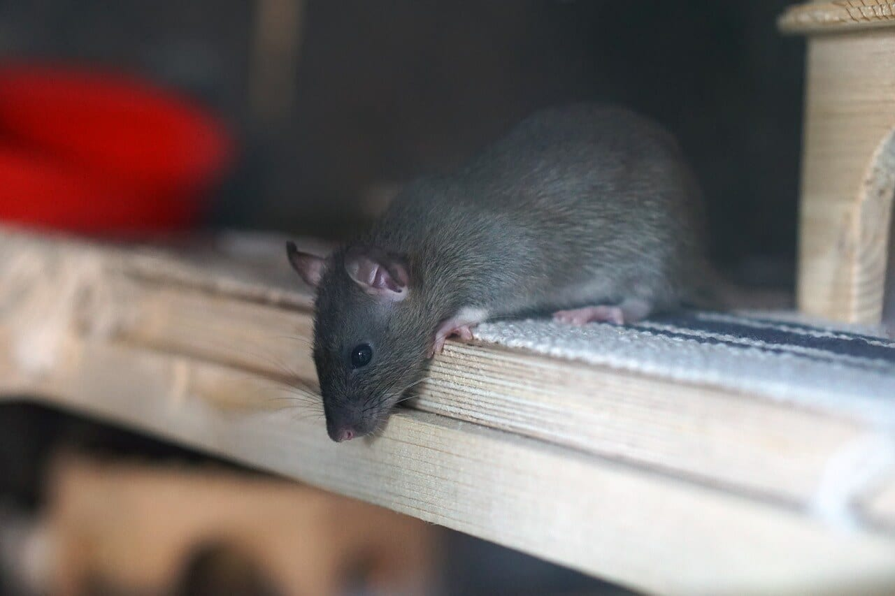 Signs of Mice and Rat Infestation