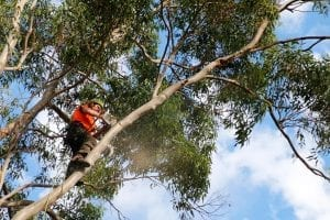 expert arborist showing how to prune a tree
