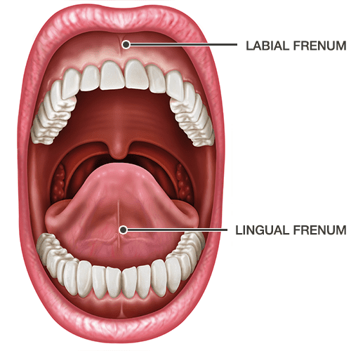 Lingual and Labial Frenums diagram