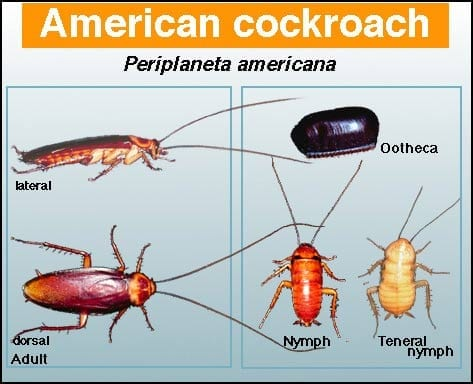 American Cockroach - Pest in North Mackay, QLD